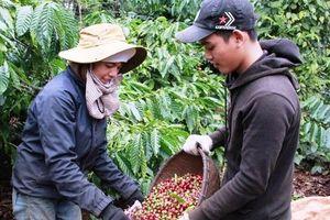 Cà phê giảm thêm 100.000 đồng/tấn