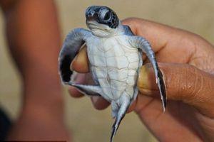 Hơn 40% rùa biển non đang bị giết chết bởi rác thải nhựa