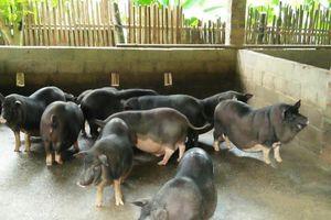 Phát triển sản phẩm chăn nuôi gắn với tiềm năng và thích ứng với thị trường tiêu thụ