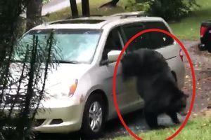 'Tá hỏa' khi phát hiện con gấu đang nằm trong ôtô