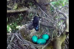 Rắn lẻn lên cây tham lam nuốt chửng 4 quả trứng chim