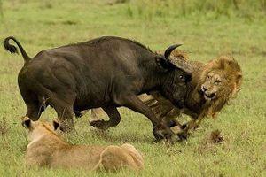 Trâu rừng liều mạng tấn công sư tử giải cứu đồng loại