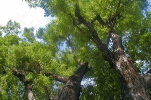 Cây giáng hương gần 100 năm tuổi trong rừng phòng hộ Dầu Tiếng bị đào trộm