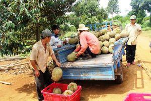 Lâm Đồng: Sầu riêng Đạ Huoai mang về nguồn thu hơn 700 tỷ đồng