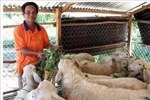 Ninh Thuận phát triển bền vững nghề chăn nuôi gia súc