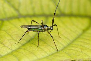 Bọ xít muỗi - tác hại và biện pháp phòng trừ