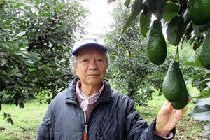 Làm giàu ở nông thôn: Trang trại bơ Mỹ bạc tỷ trên đất đồi Tàu