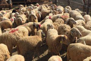 Điều bất ngờ về giống cừu duy nhất ở Việt Nam hiện nay