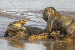 Sư tử bị cá sấu 'khủng' tấn công trên sông