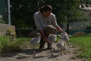 Dễ thương người dạy chim hồng hạc con tập đi