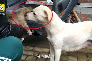 Clip: Chó mẹ buồn bã hôn tạm biệt con khiến người xem rơi lệ