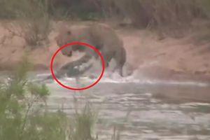 Clip: Cá sấu khổng lồ đột kích, suýt đoạt mạng sư tử