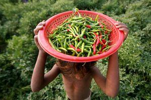 9 lợi ích tuyệt vời của ớt xanh mà bạn chưa biết