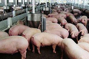 Chủ động chống buôn lậu lợn, sản phẩm của lợn từ nước ngoài vào Việt Nam