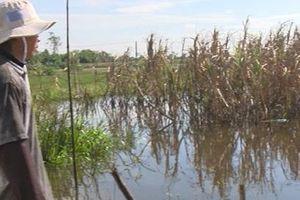 Hậu Giang: Hơn 100 ha mía bị ngập do nước lũ lên cao