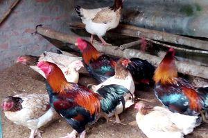 Duy trì bảo tồn và phát triển giống gà Hồ, Bắc Ninh
