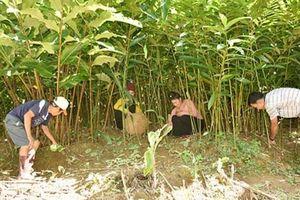 Sơn La: Trồng sa nhân tím dưới tán rừng