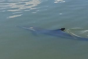 Phát hiện cá heo bơi vào sông ở Hội An