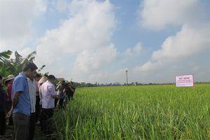 Chế phẩm Sumitri xử lý rơm rạ sau thu hoạch