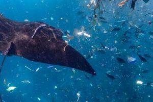 Thảm cảnh cá đuối bơi giữa biển rác ni lông ở Indonesia