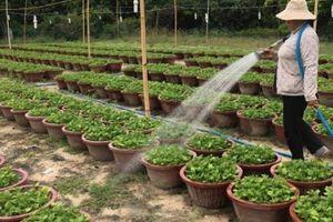 Khánh Hòa: Giá cúc giống, vật tư vụ hoa Tết tăng 'chóng mặt'