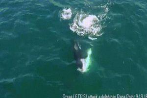 Khoảnh khắc cá voi sát thủ tấn công, sát hại cá heo ở ngoài khơi Mỹ