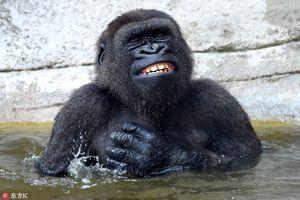 Khỉ đột tắm mát thích thú, 'bơ' luôn hình ảnh nhạy cảm
