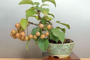 Lạ mắt những cây lê bonsai sai trĩu quả