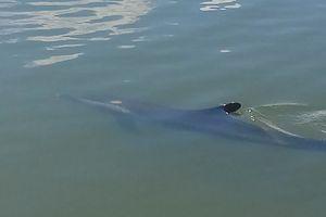 Cá heo 50 kg bị thương bơi lạc vào tận sông ở Hội An