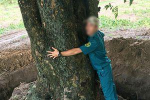Điều tra vụ cây 'khủng' bị bứng