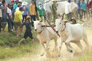 Độc đáo lễ hội đua bò ở An Giang