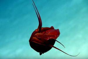 Loài mực kỳ lạ có hình dáng như một quả tim biết di chuyển