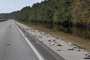 Mỹ: Sau siêu bão Florence hàng trăm con cá chết trên đường cao tốc