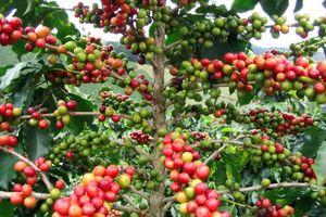 Cà phê ghi nhận 22 tháng giảm giá