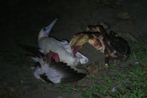 Loài cua dừa khổng lồ săn chim để ăn thịt