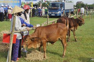 Trao 1.500 bò sinh sản cho hộ nghèo