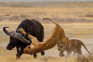 Dạy con đi săn, sư tử cái muối mặt vì điều bất ngờ