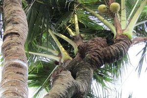Cần Thơ: Xuất hiện những cây dừa độc, lạ, có cây ra 38 ngọn