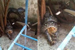 Trăn 'khủng' dài 3,5 mét bò vào nhà dân siết chết mèo