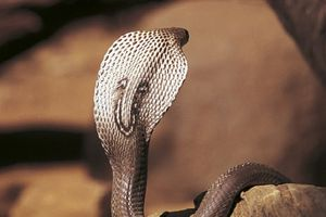 Người đàn ông cho rắn cắn vào lưỡi để chữa nghiện rượu, nghiện thuốc