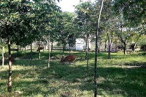 Kỳ lạ ở Huế: Trường học 'biến' thành nơi nuôi bò