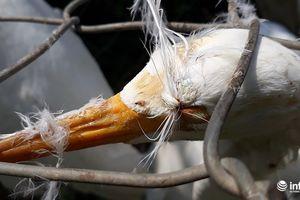 Tận diệt chim trời: Cận cảnh 'thiên la, địa võng' giăng bắt chim, cò
