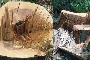 Truy trách nhiệm vụ phá rừng quy mô lớn ở A Lưới