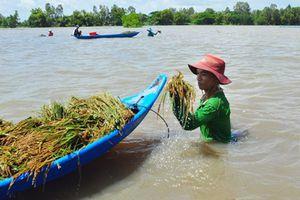 Đồng bằng sông Cửu Long: Khẩn trương thu hoạch lúa chạy lũ