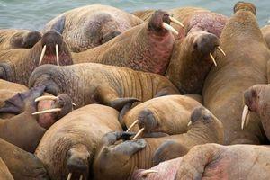Hàng chục nghìn con hải mã mắc kẹt trên bãi biển Alaska mỗi năm do biến đổi khí hậu