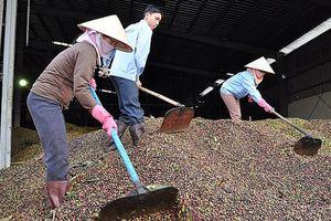 Phát triển ngành cà phê bền vững: Cần có thêm các 'đầu tàu'