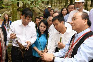 Phát triển ngành công nghiệp trồng và chế biến sâm Ngọc Linh