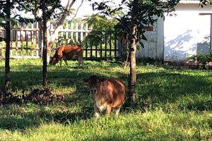 Chuyện lạ: Trường học ở Huế trở thành nơi nuôi bò và gà