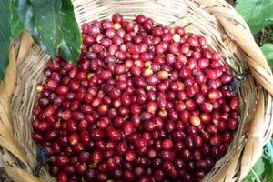 Giá nông sản hôm nay 26/9: Giá cà phê trong nước thấp, xuất khẩu giảm, giá tiêu đi ngang