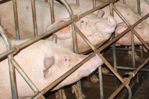 Quảng Trị: Thực hư thông tin cán bộ xã lấy tiền hỗ trợ nuôi lợn của dân